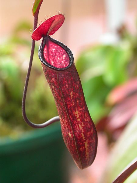 450px-Nepenthes_muluensis JeremiahsCPs WC