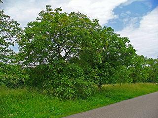 Juglans_regia_001 tree H. Zell WC
