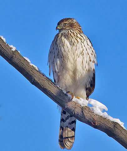 Accipiter_cooperii_Quebec Yboo photos WC