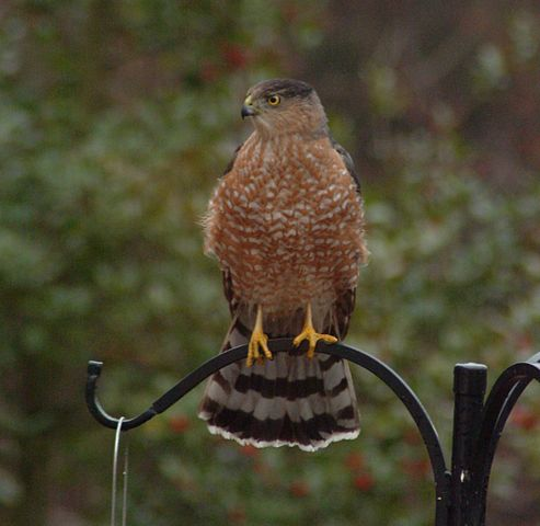 Cooper's_Hawk_at_Feeder H. Glibert Miller WC
