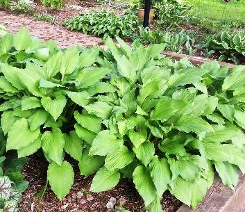 lt green hosta