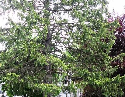 pine tree ms adj